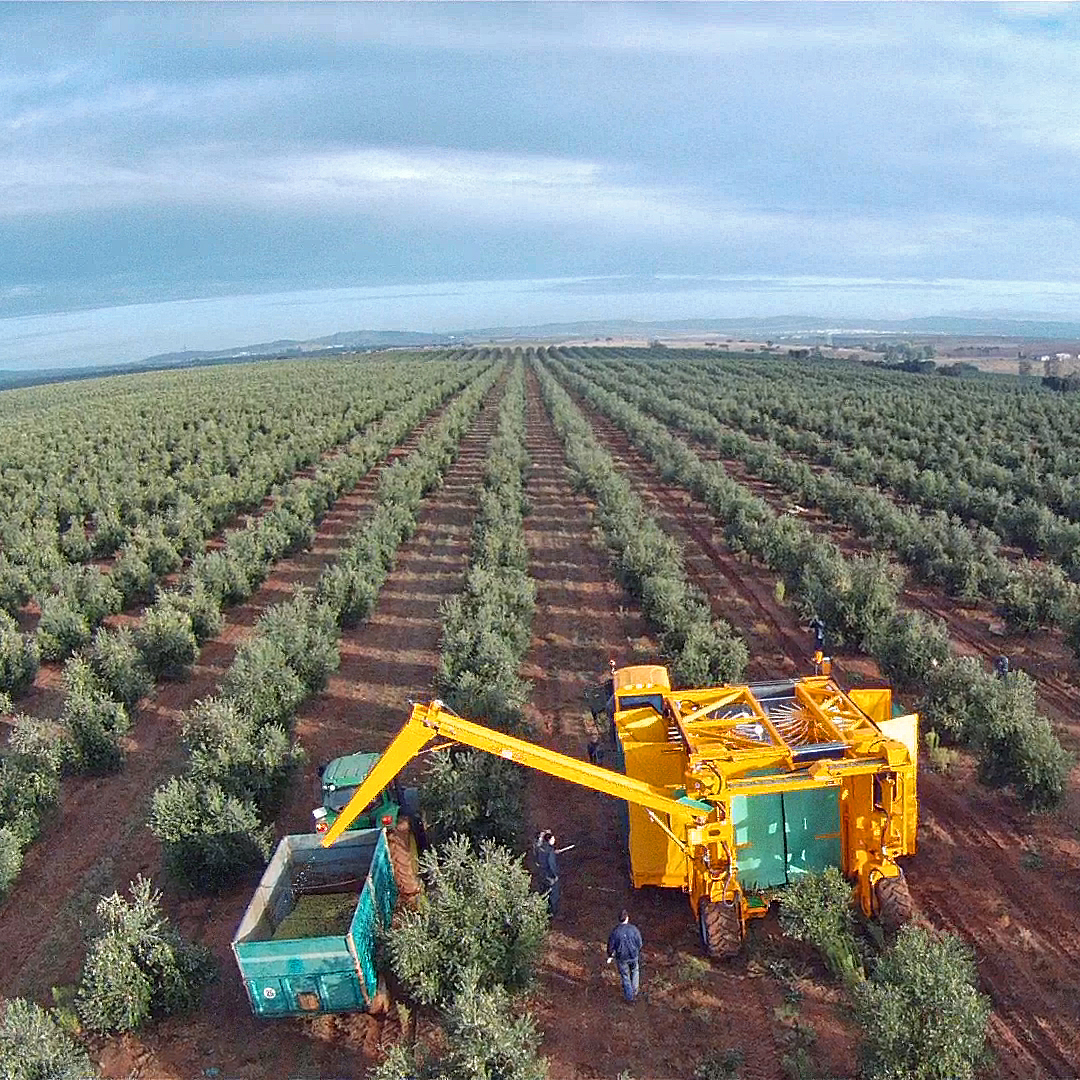 Large machines harvesting Olives