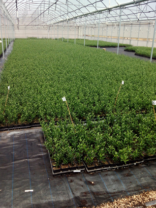 Thousands of Olive Tree Cuttings in pots