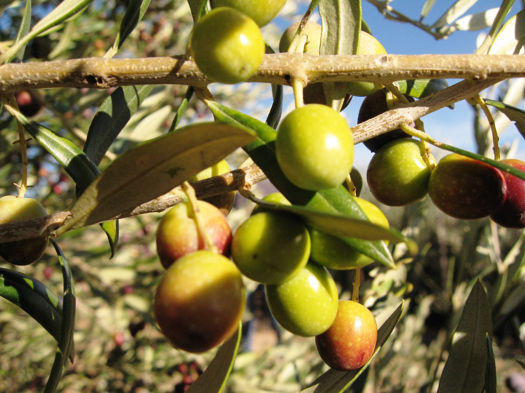 Picture of Arbequina Olives