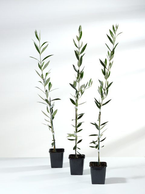 Olive Tree Cuttings